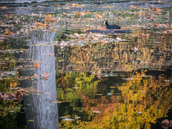 coot autumn reflection