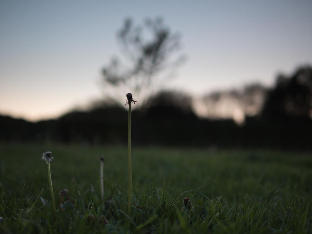 dandelion stems