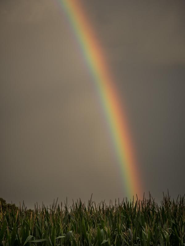 rainbow cornfield
