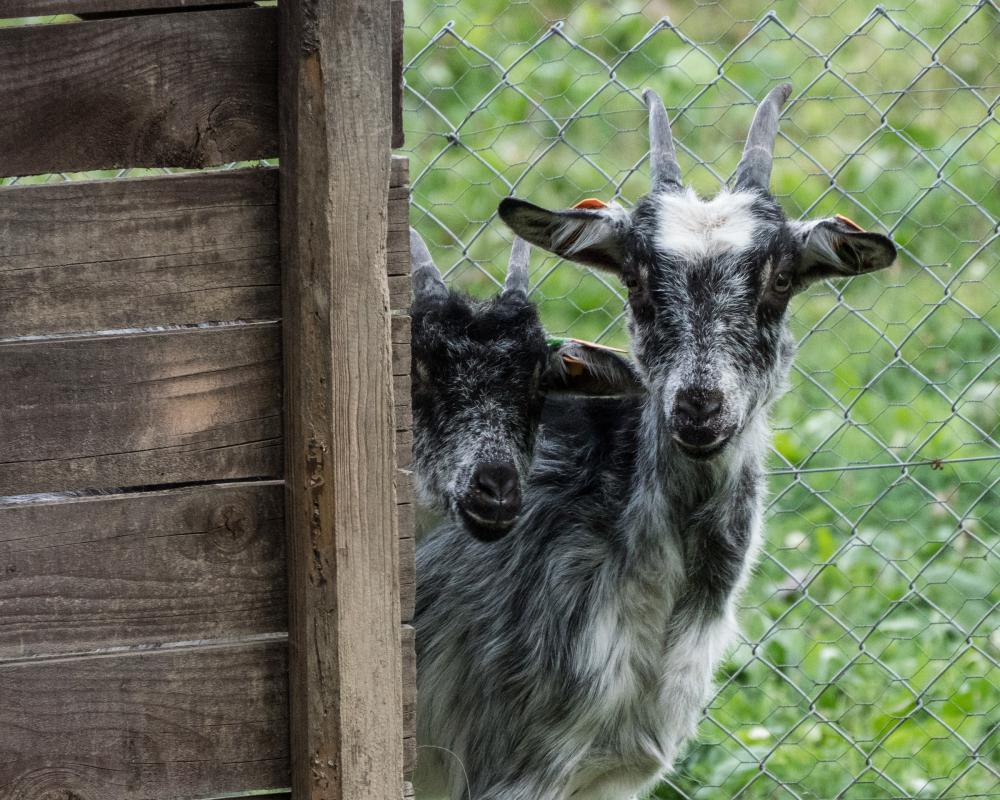 goat watchers