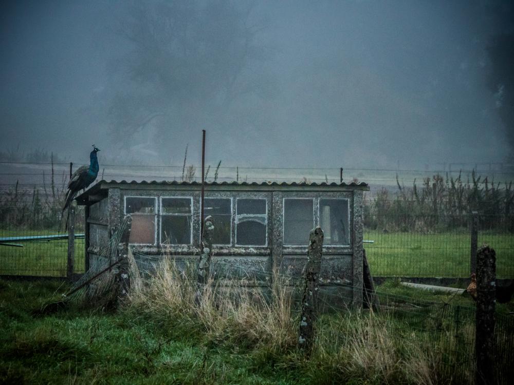 peacock shack