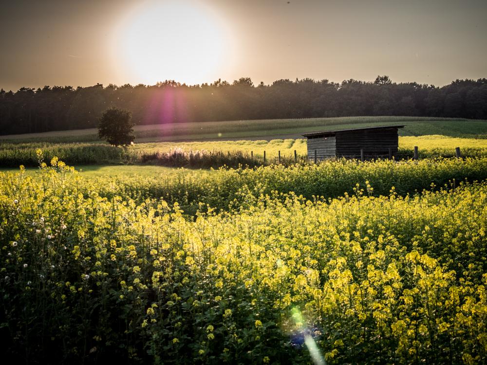 rapeseed fields belgium
