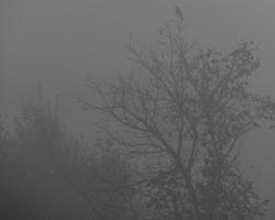 foggy tree and crow