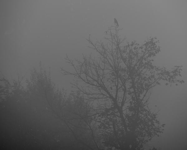 foggy tree and crow