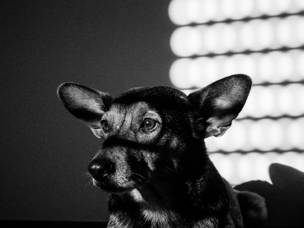 film noir dog