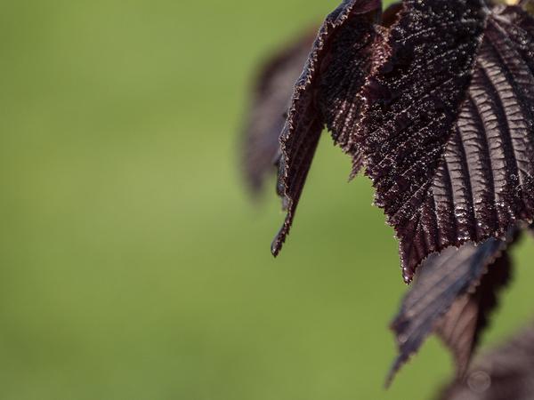 hazelnut leaf