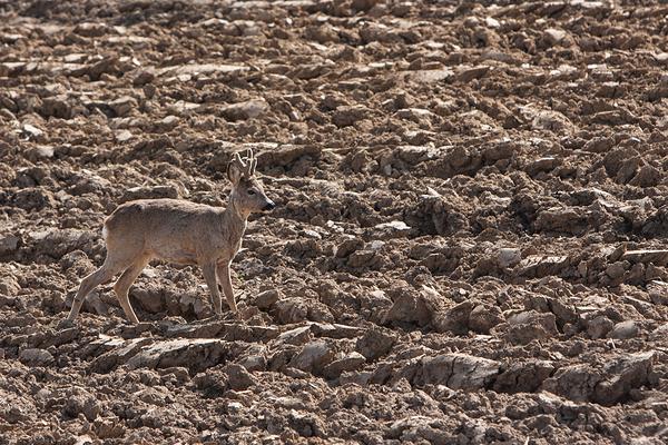 deer in dirt