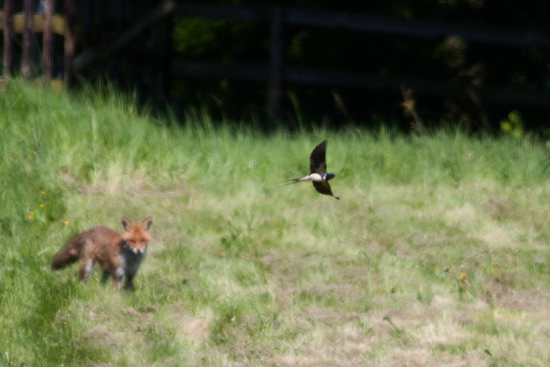 I was photographing a fox from a distance when a swallow flew through my frame. I saw it in my peripheral vision but didn't realize that when I pressed the shutter, the bird would be so pronounced in the image with her wings spread perfectly like this.