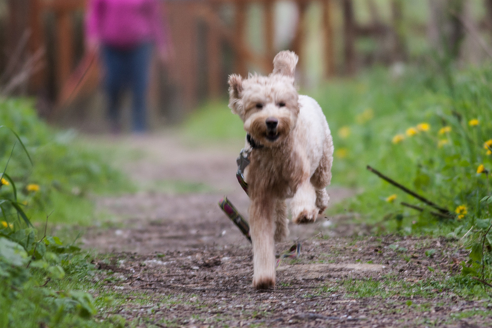 golden doodle dog running