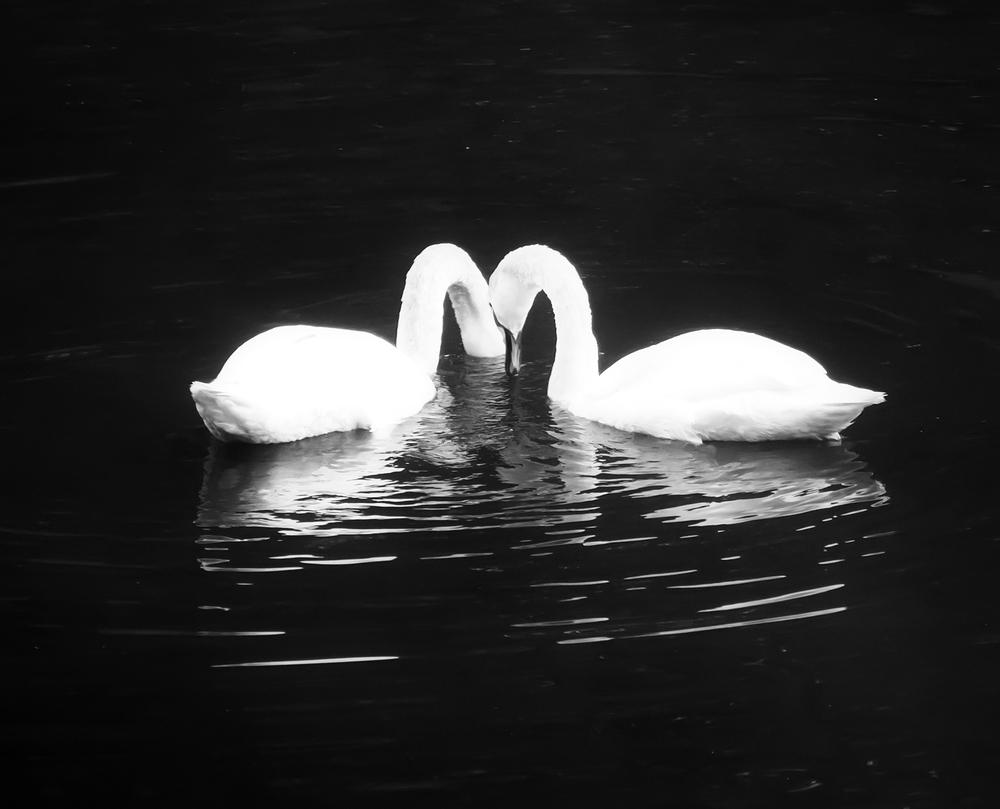 swan heart