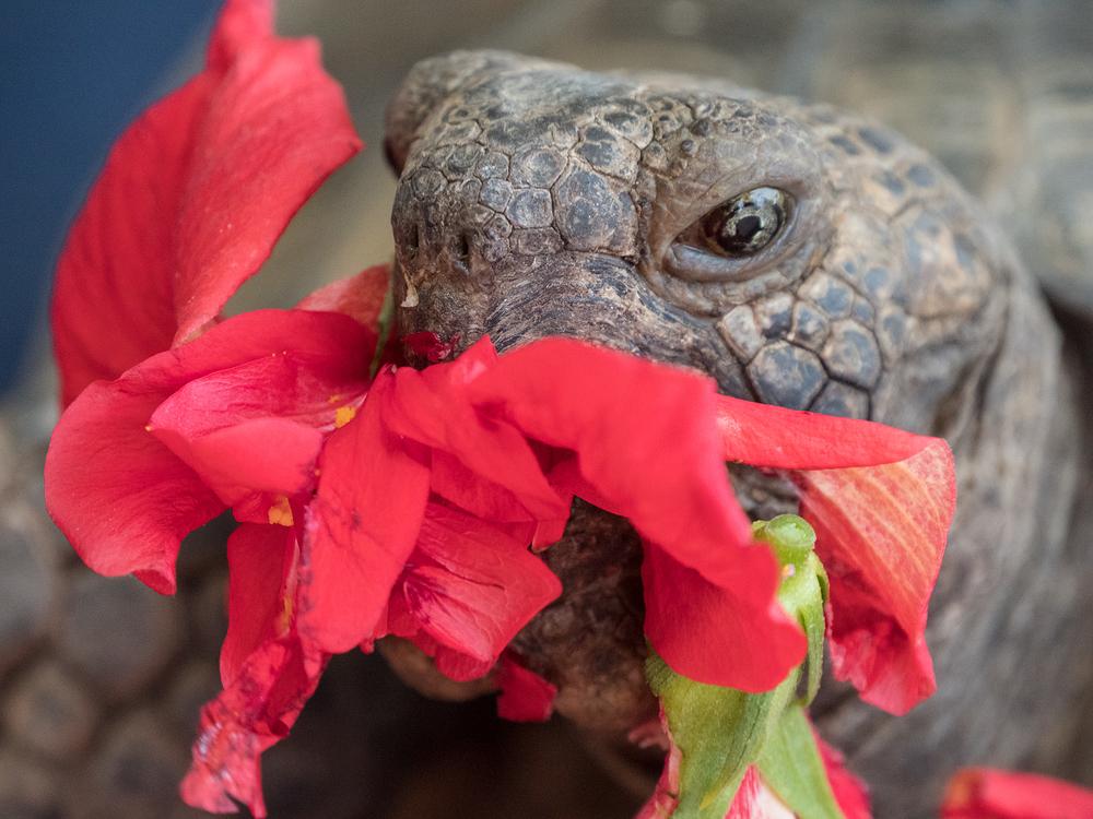 general patton the tortoise