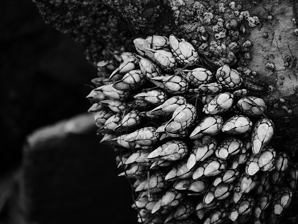 barnacles in black and white