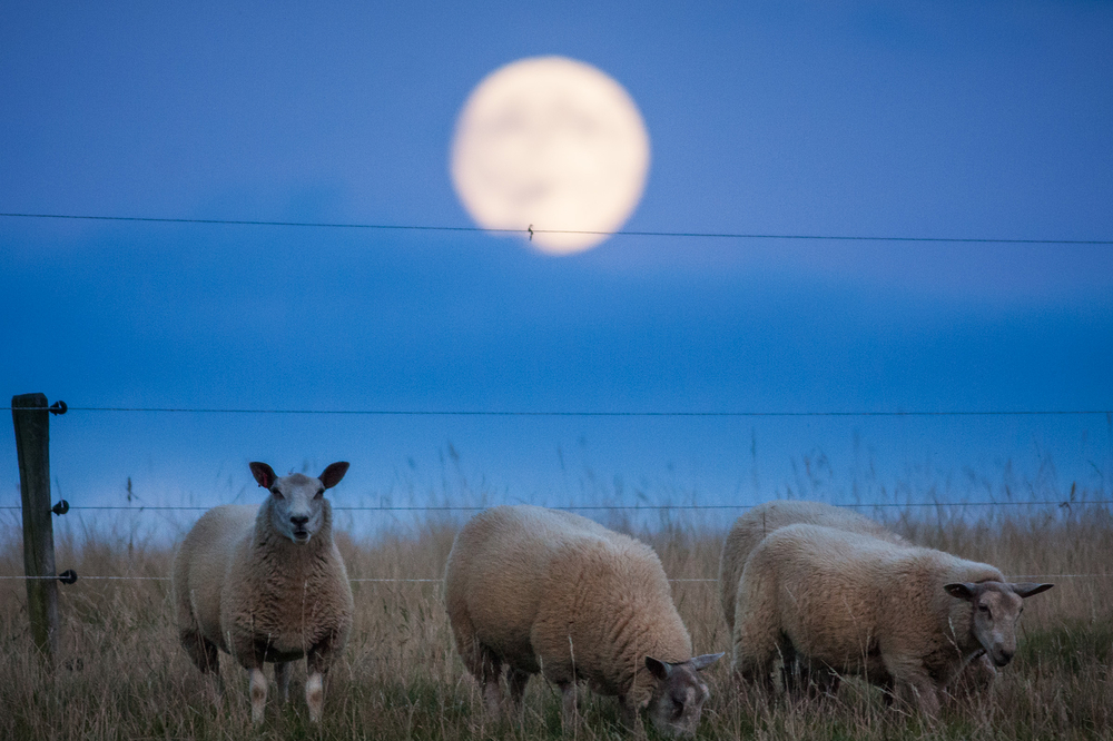 full moon sheep