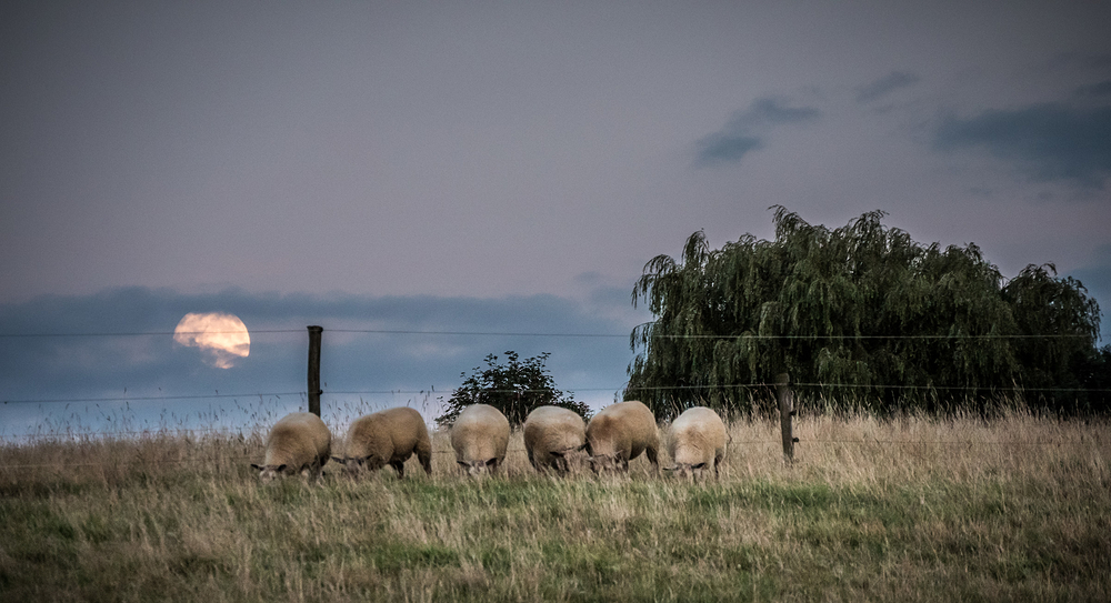 moon rise sheep