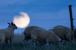 moonlight graze sheep