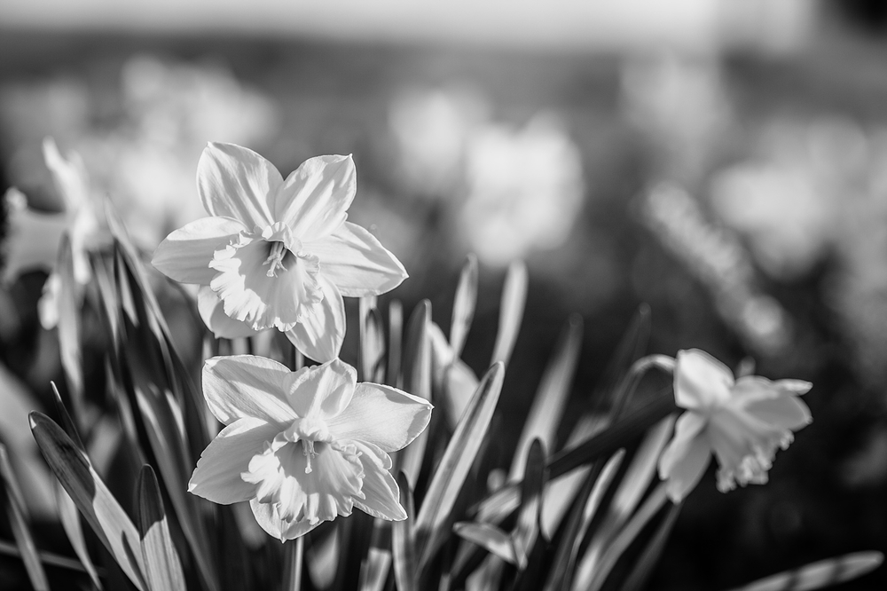 daffodil in black and white