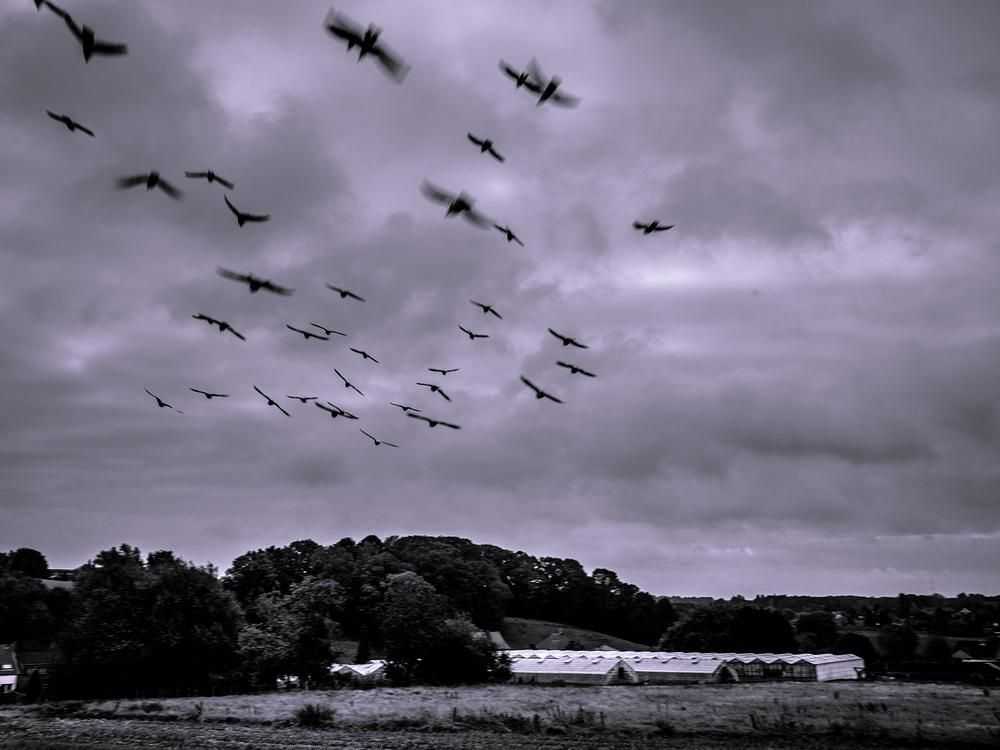 dove flock