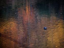 coot Tervuren pond