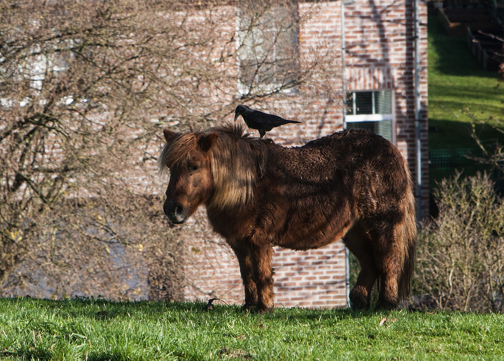 crow riding a pony