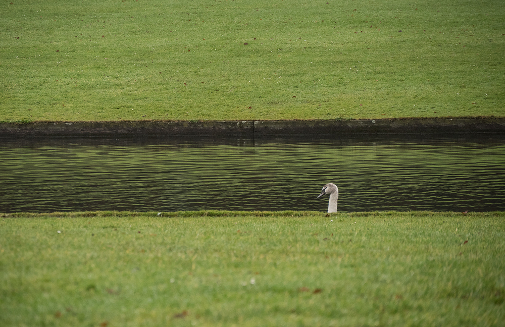 juvenile swan head