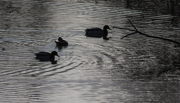 duck water ripple