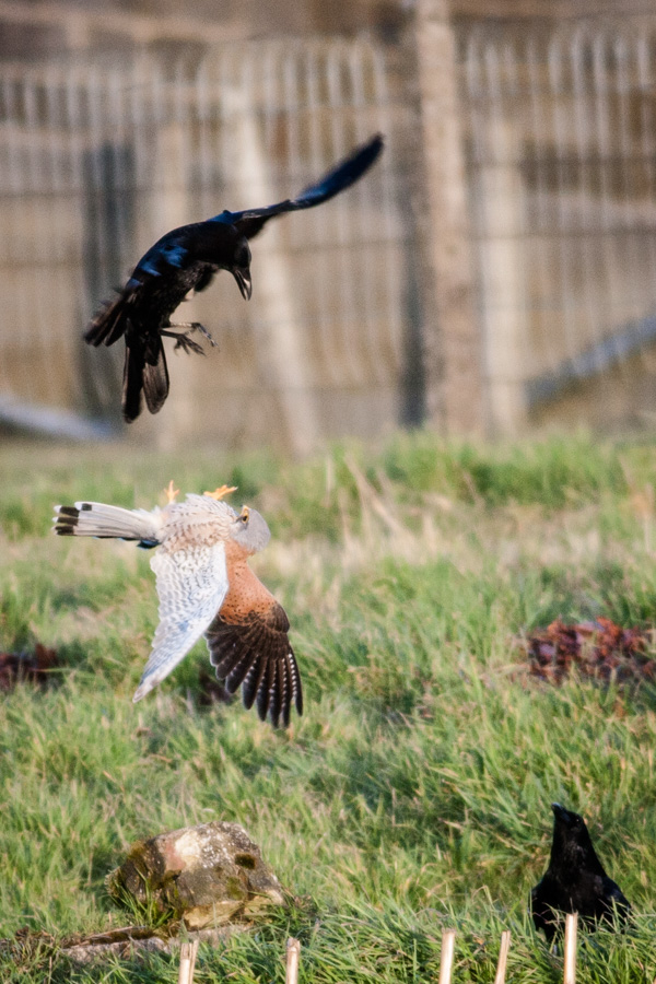 kestrel fighting a crow