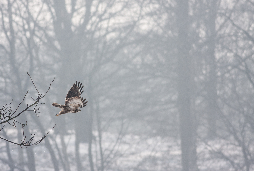 hawk taking off