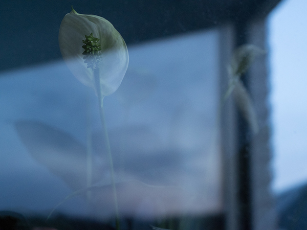 peace lily window