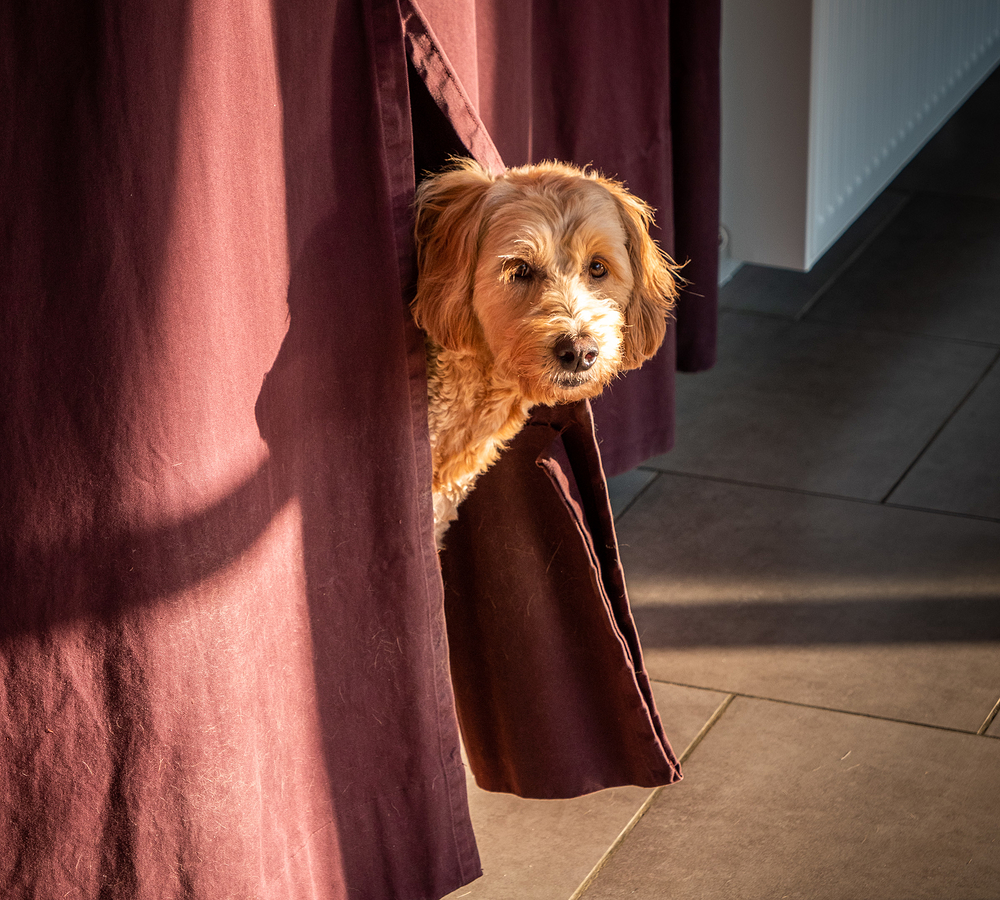 dog poking through curtain
