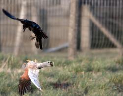 kestrel fighting a crow