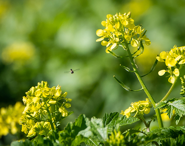 fly in the rapeseed