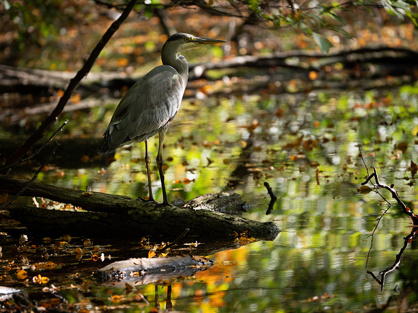 heron in autumn leaves reflection