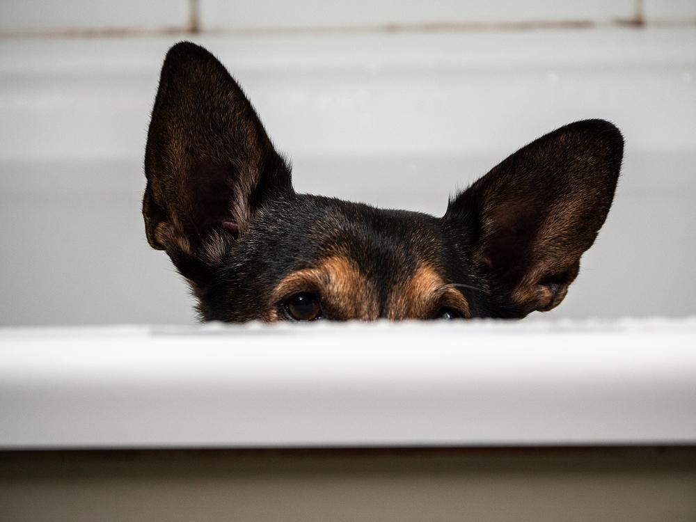 dog ears in tub