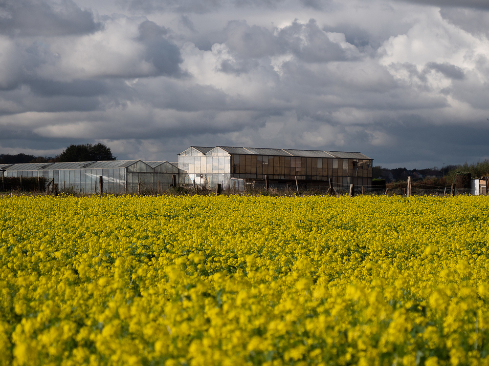 rapeseed fields of yellow
