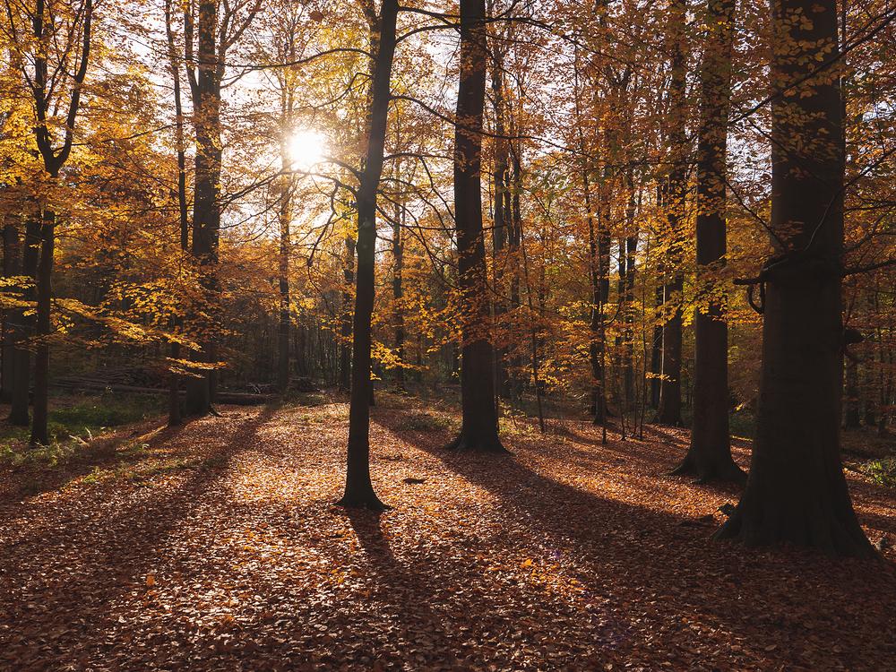 autumn sunset through yellow leaves