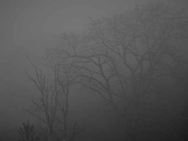 fog and bare branches