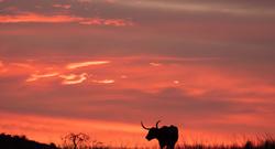 oklahoma long horn sunset