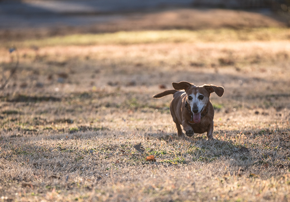 old weiner dog running