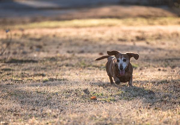 old weiner dog running