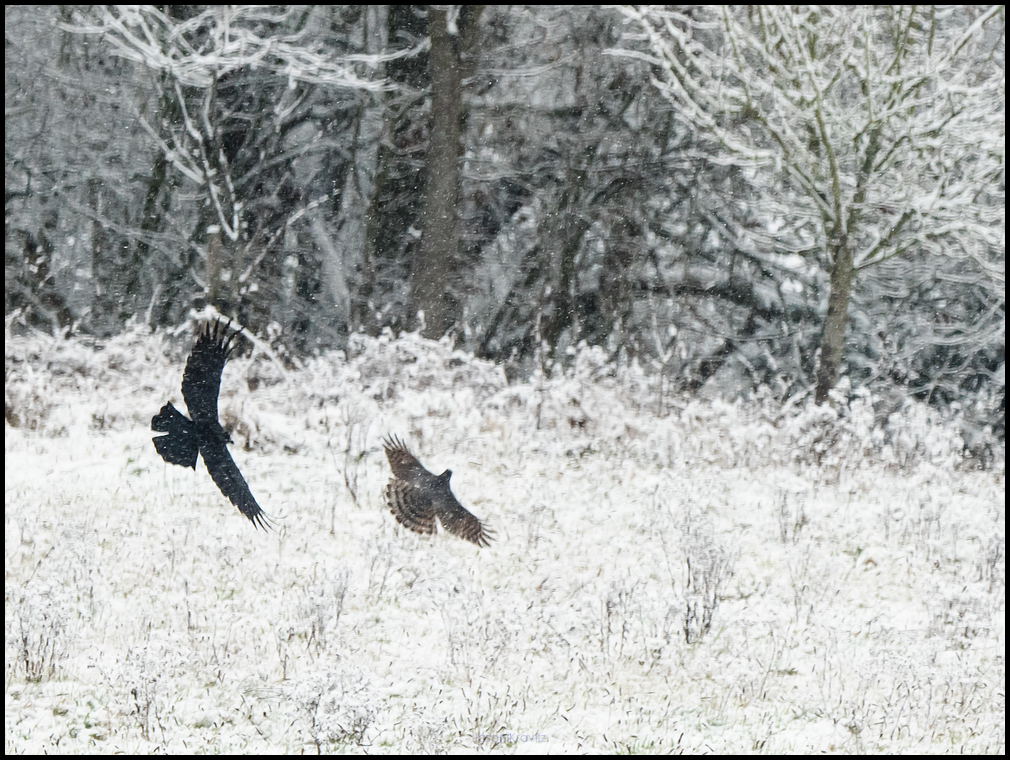 crow and kestrel fighting in snow