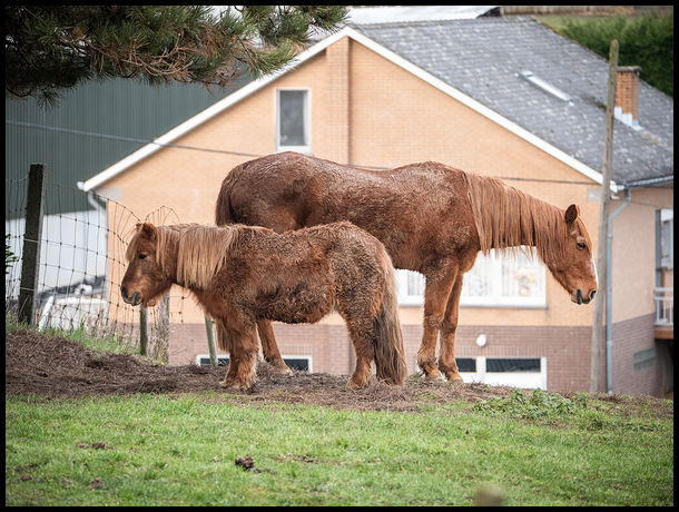 wet brown horse and pony