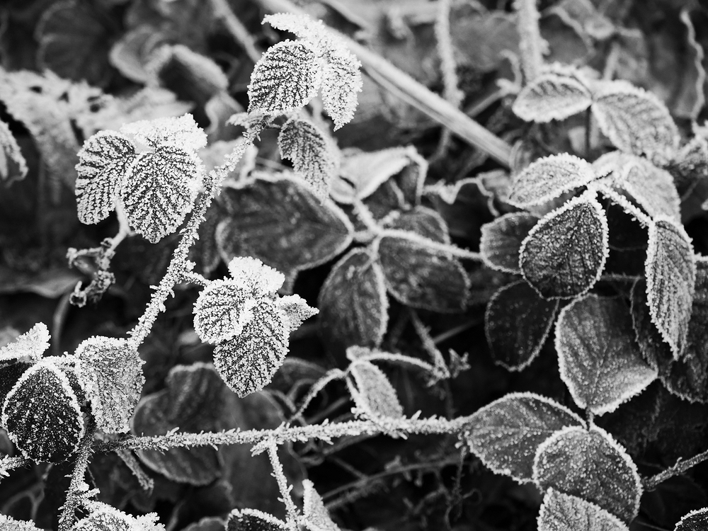 snow crystals on a leaf