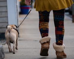 walking the pug