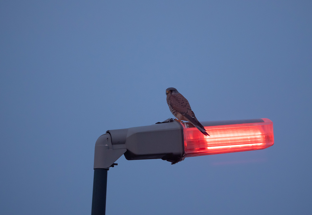 kestrel light post