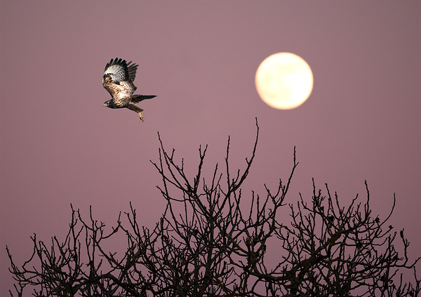 hawk and full moon