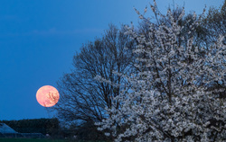 pink moon spring blossoms