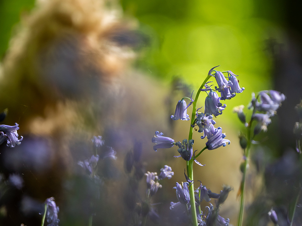 Bluebells, Bokeh and Doodle