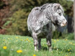 aging pony