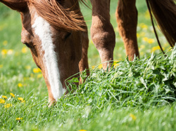 white stripe horse grazing