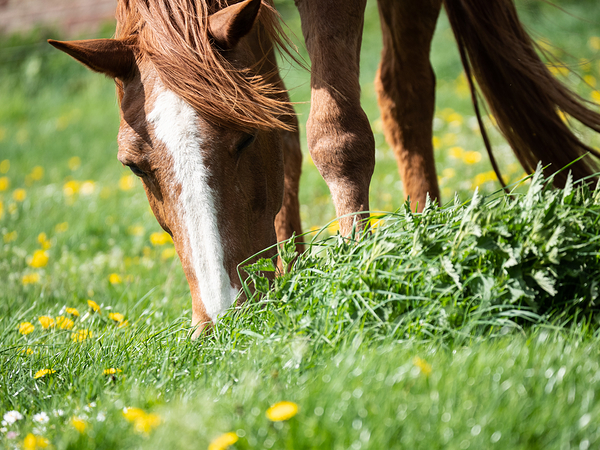 grazing on dandelions